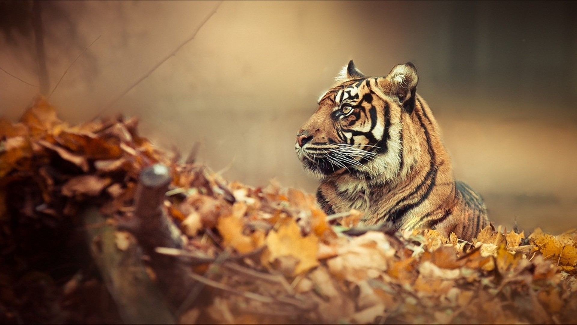 free tiger wallpapers