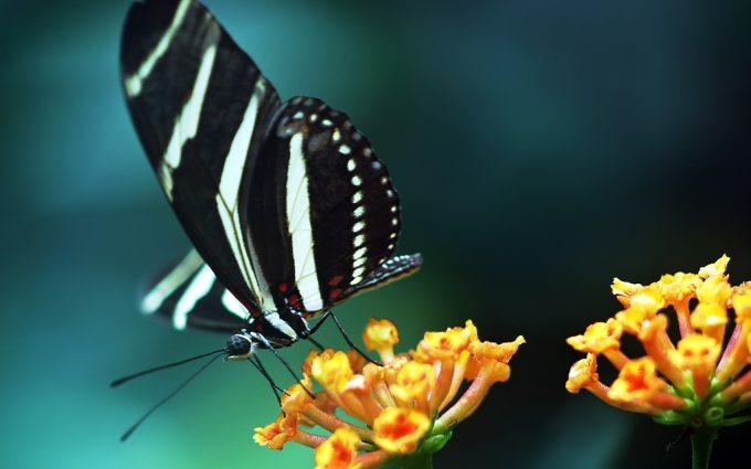 free wallpaper butterfly