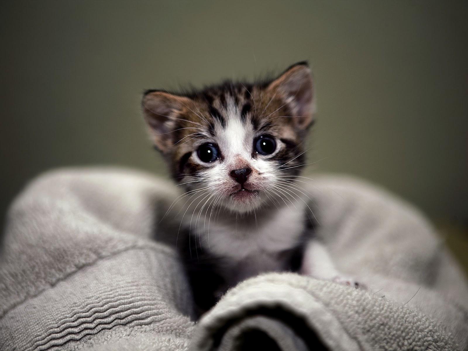 free wallpaper cats kittens