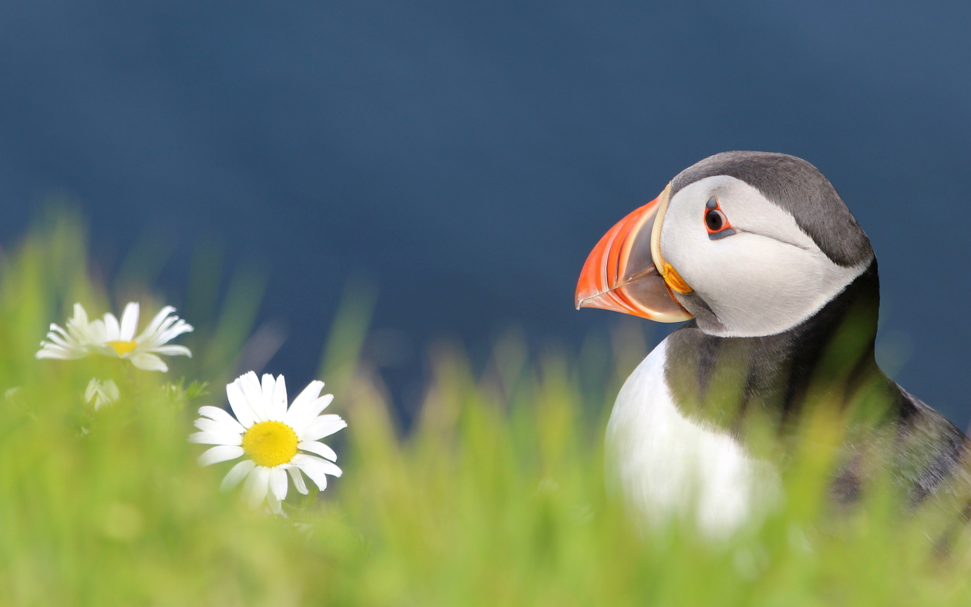 free wallpaper puffin