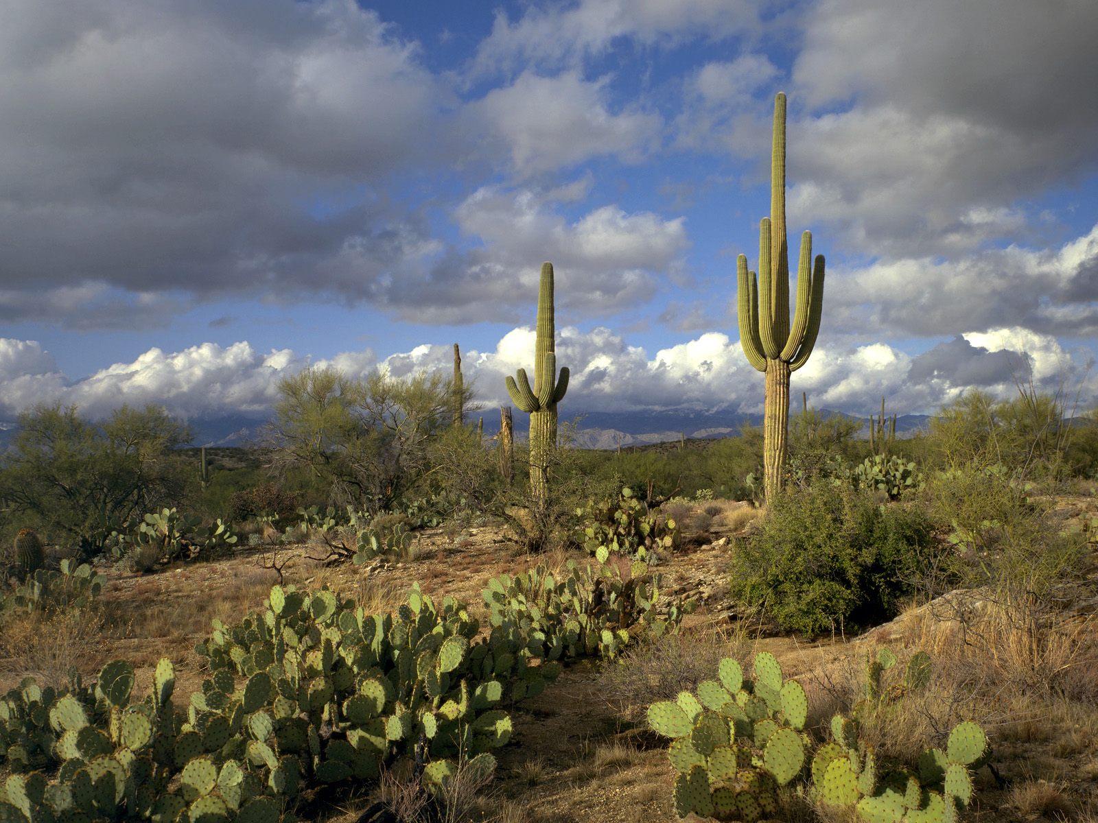 free wallpaper saguaro