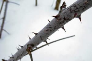 free wallpaper thorns
