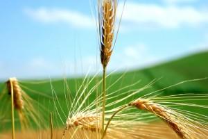 free wallpaper wheat