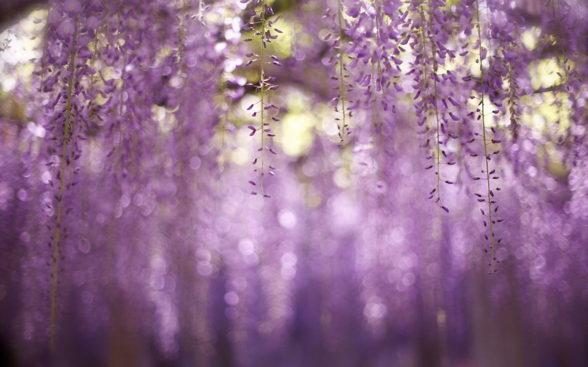 free wallpaper wisteria