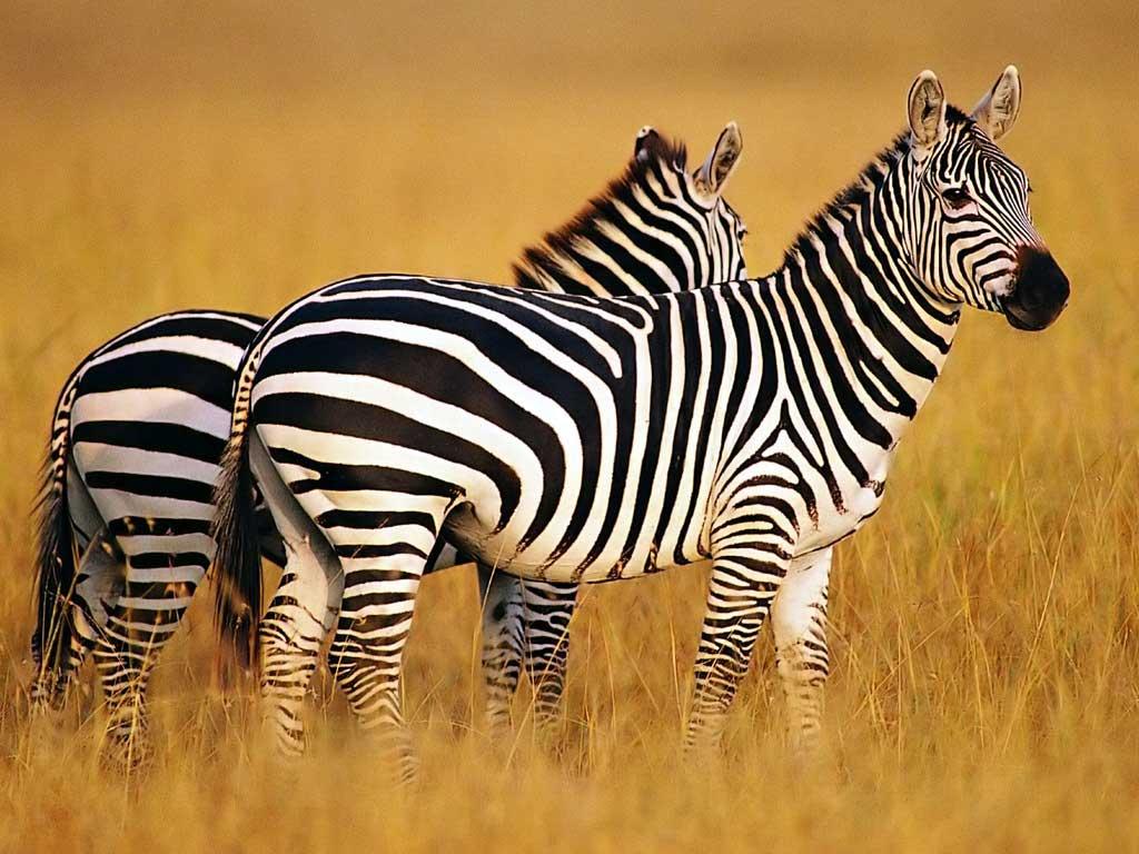 free wallpaper zebra