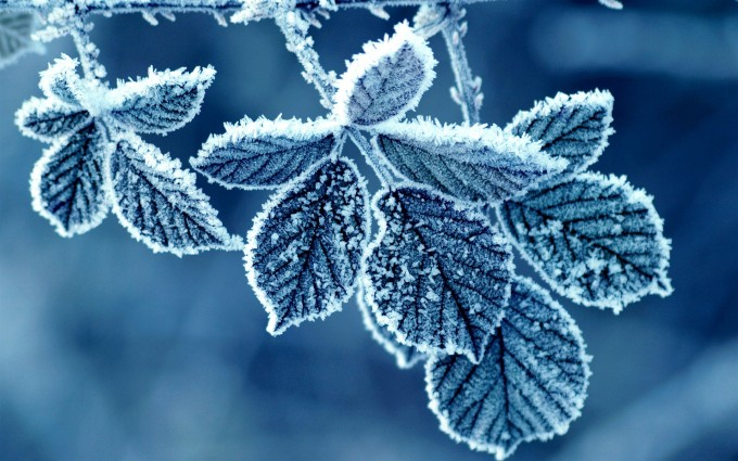 frost leaves photo