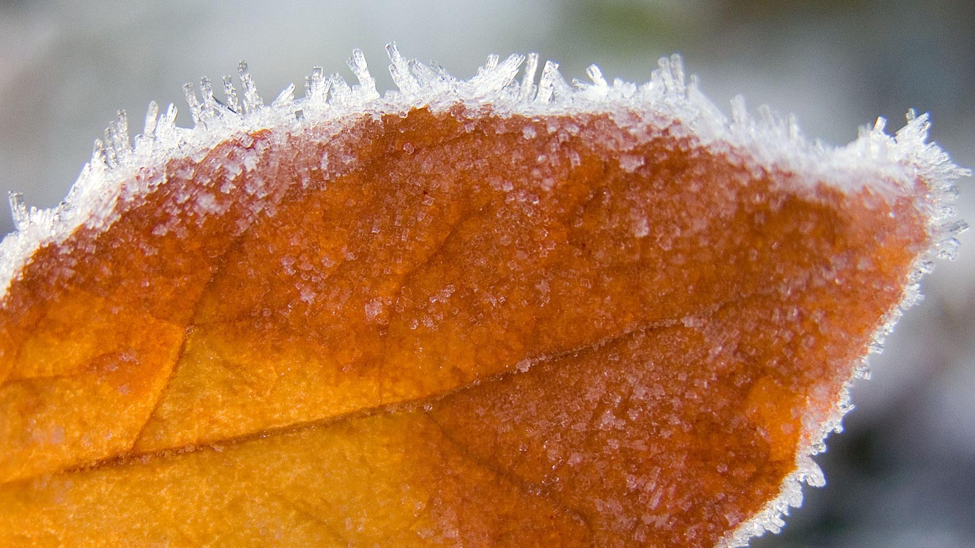 frost wallpaper autumn leaf
