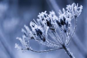frost wallpaper plant