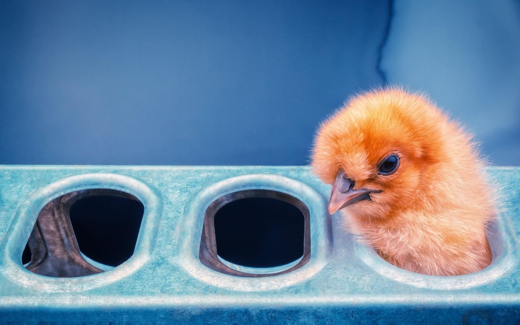 funny wallpaper chicken