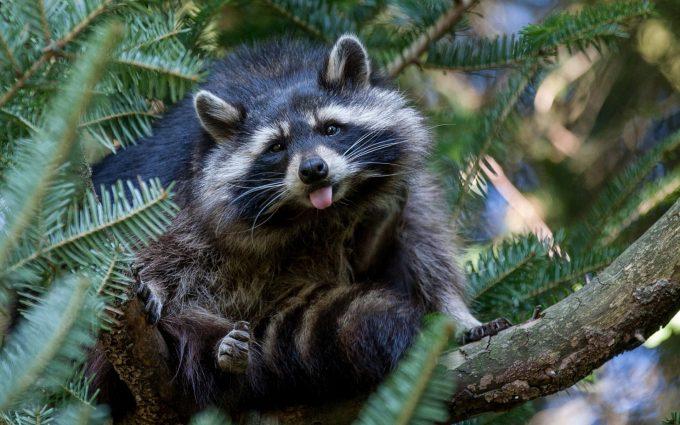 funny wallpaper raccoon