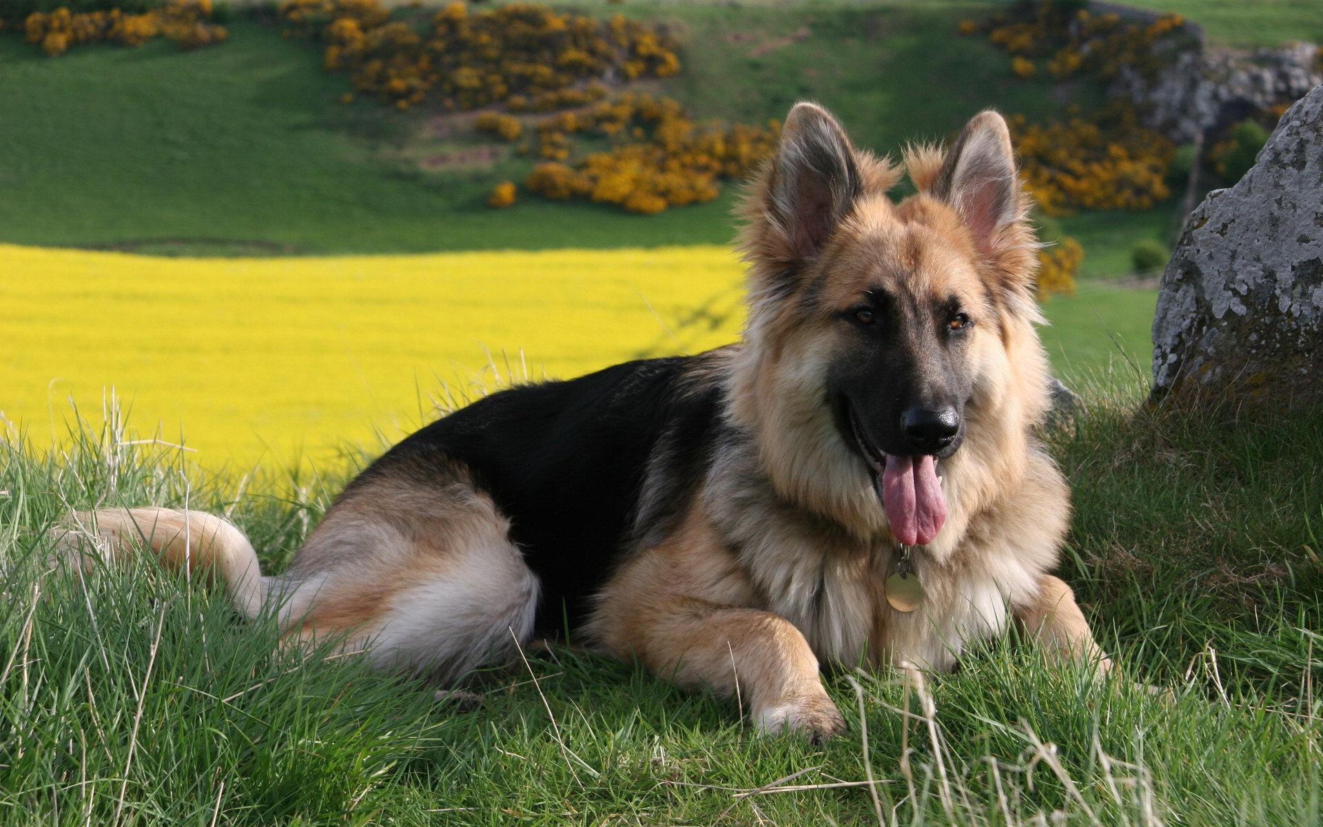 german shepherd A2