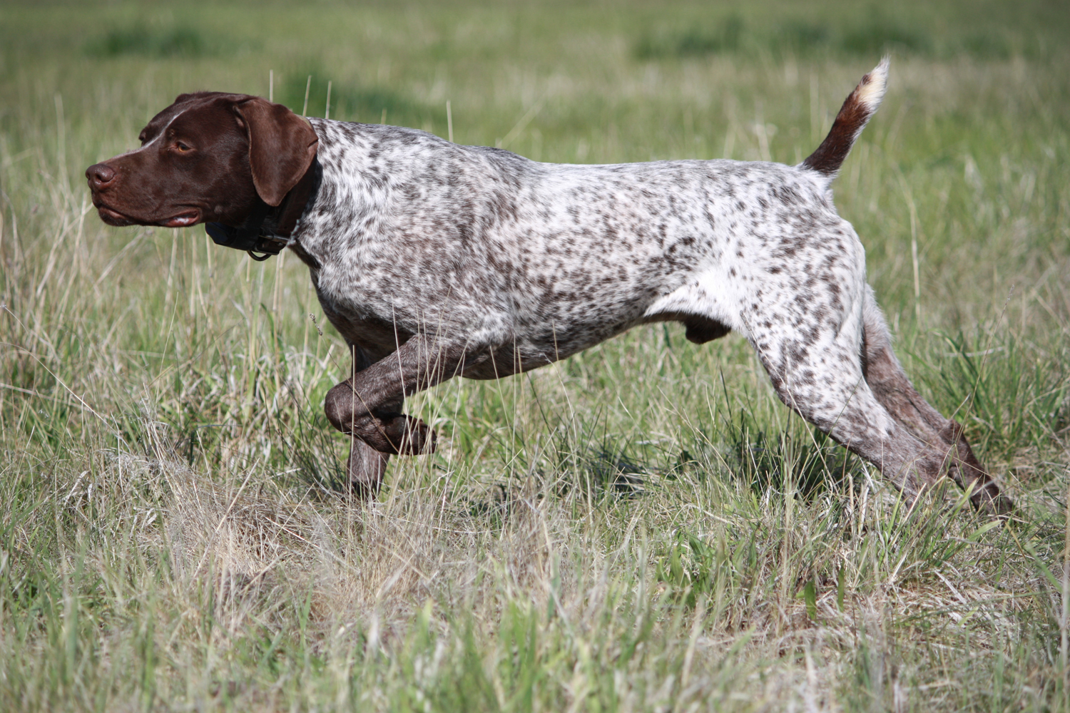 german shorthaired pointer breed