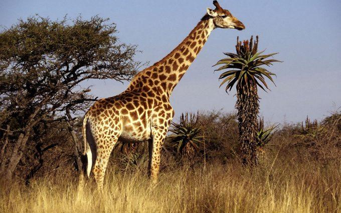 giraffe cartoon wallpaper