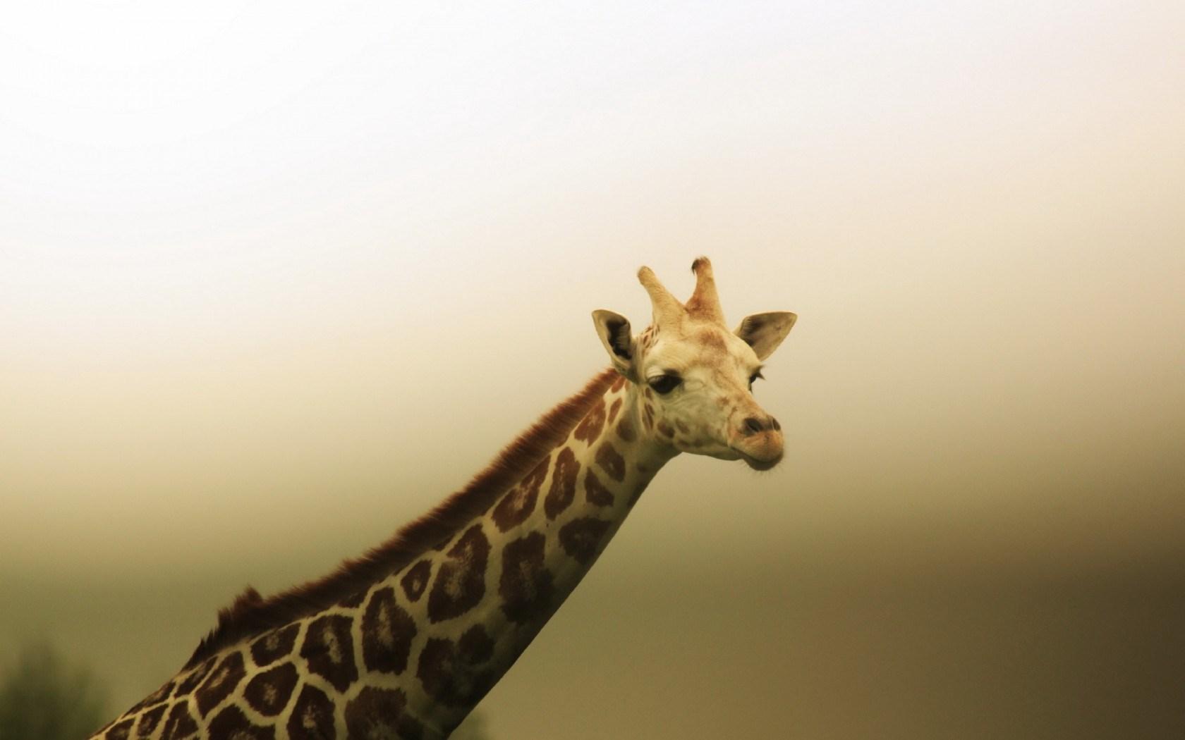 giraffe images A1