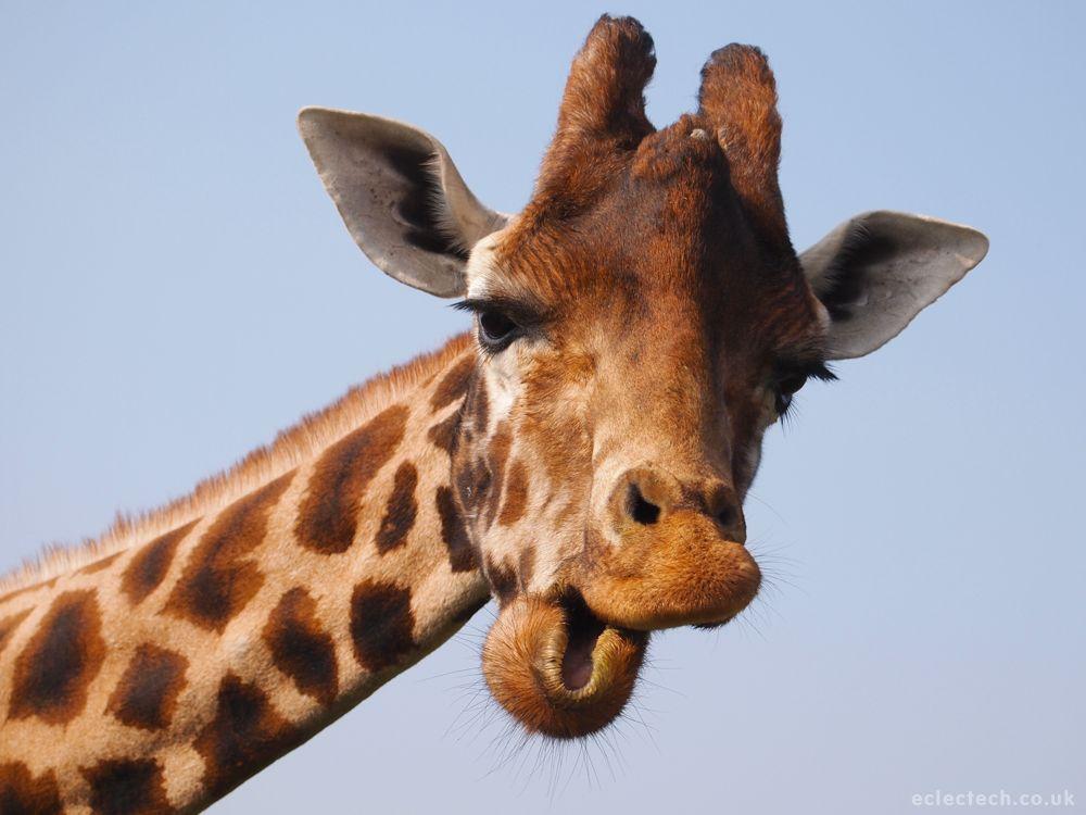giraffe images funny