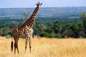 giraffe images hd