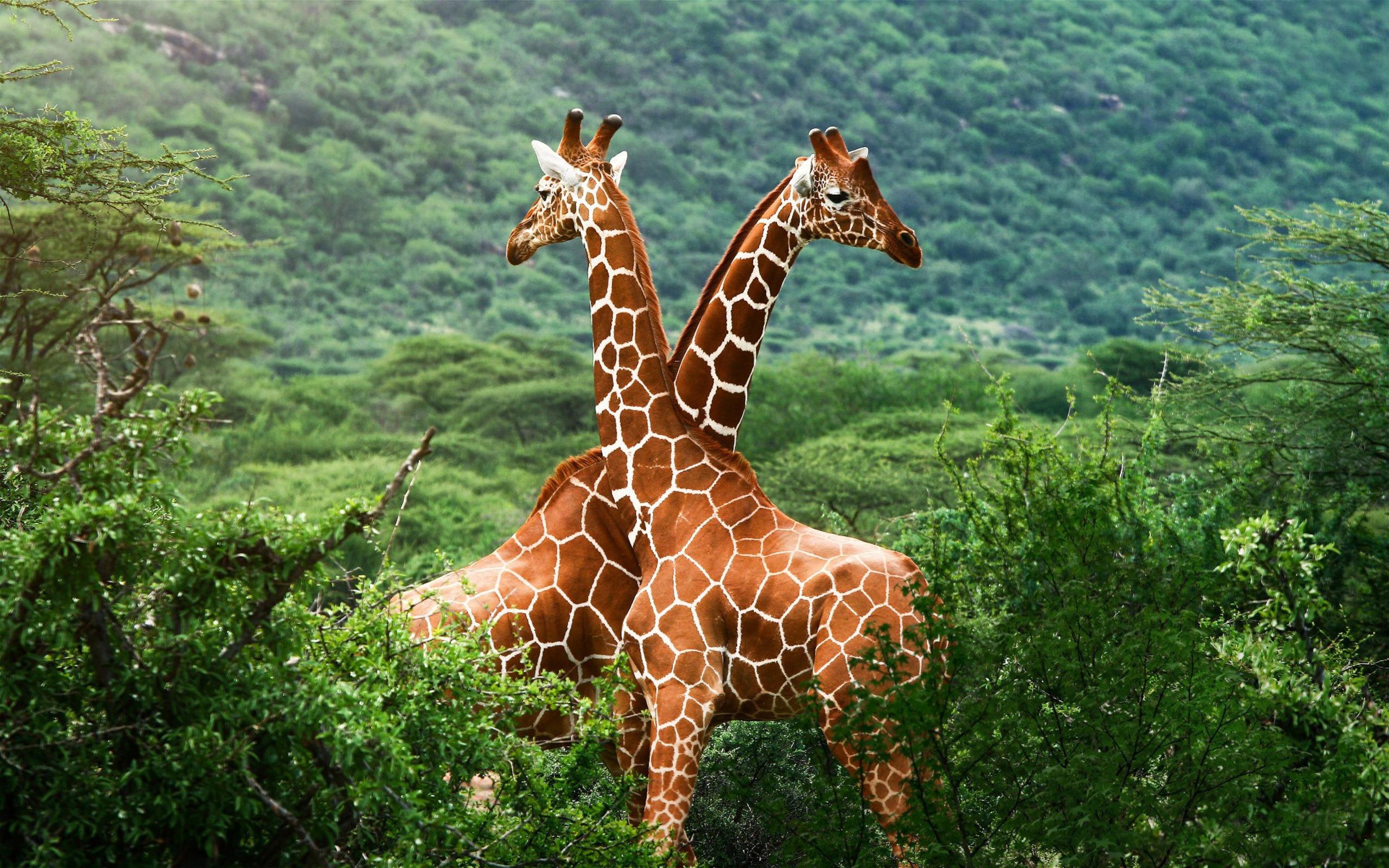 giraffe images love