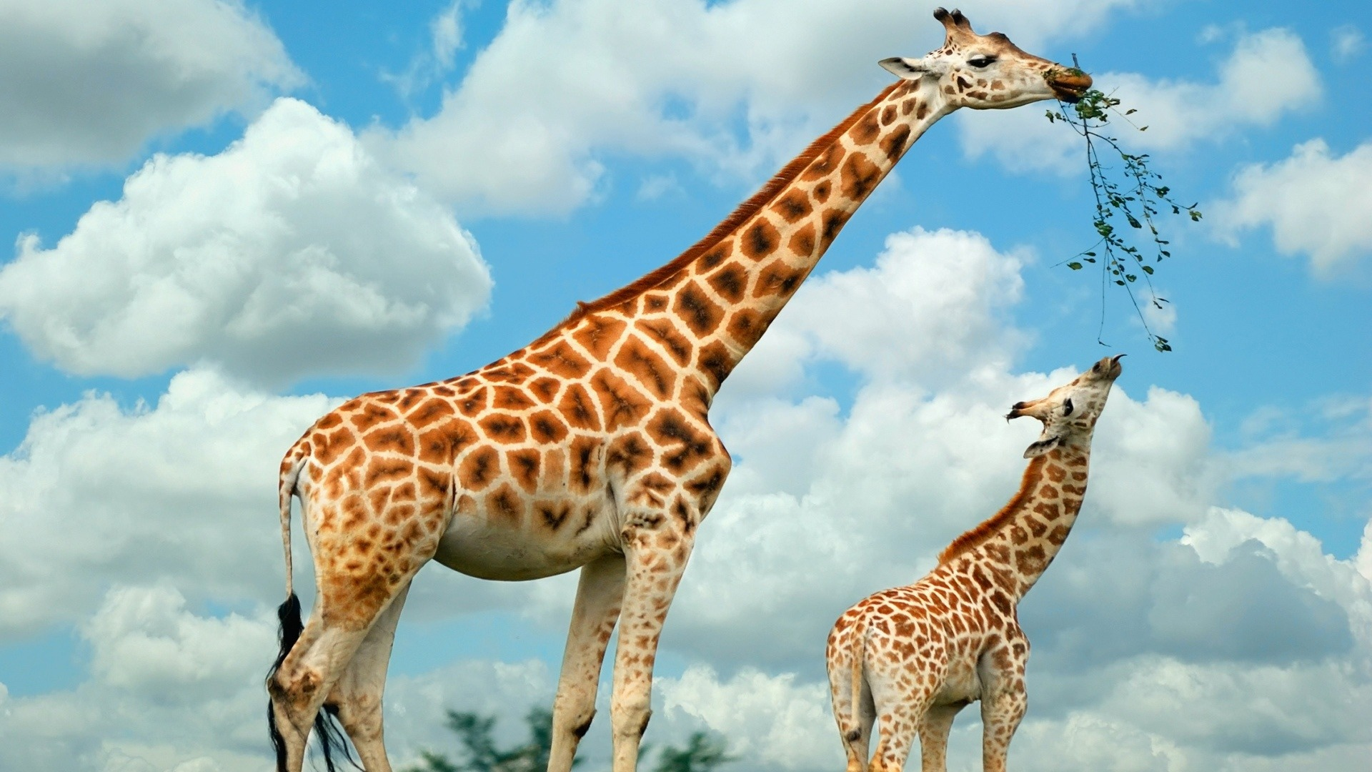 giraffe images wild