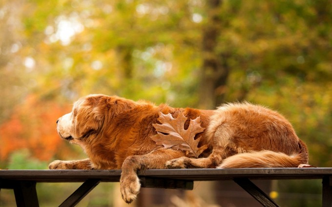 golden retriever-dogs
