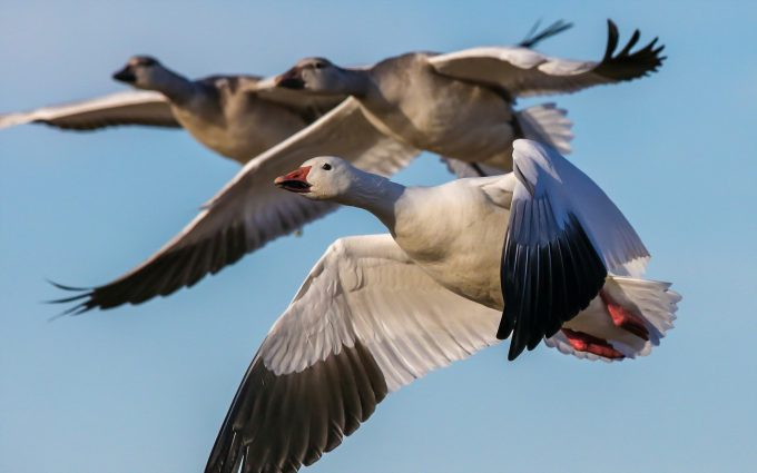 goose pictures A4