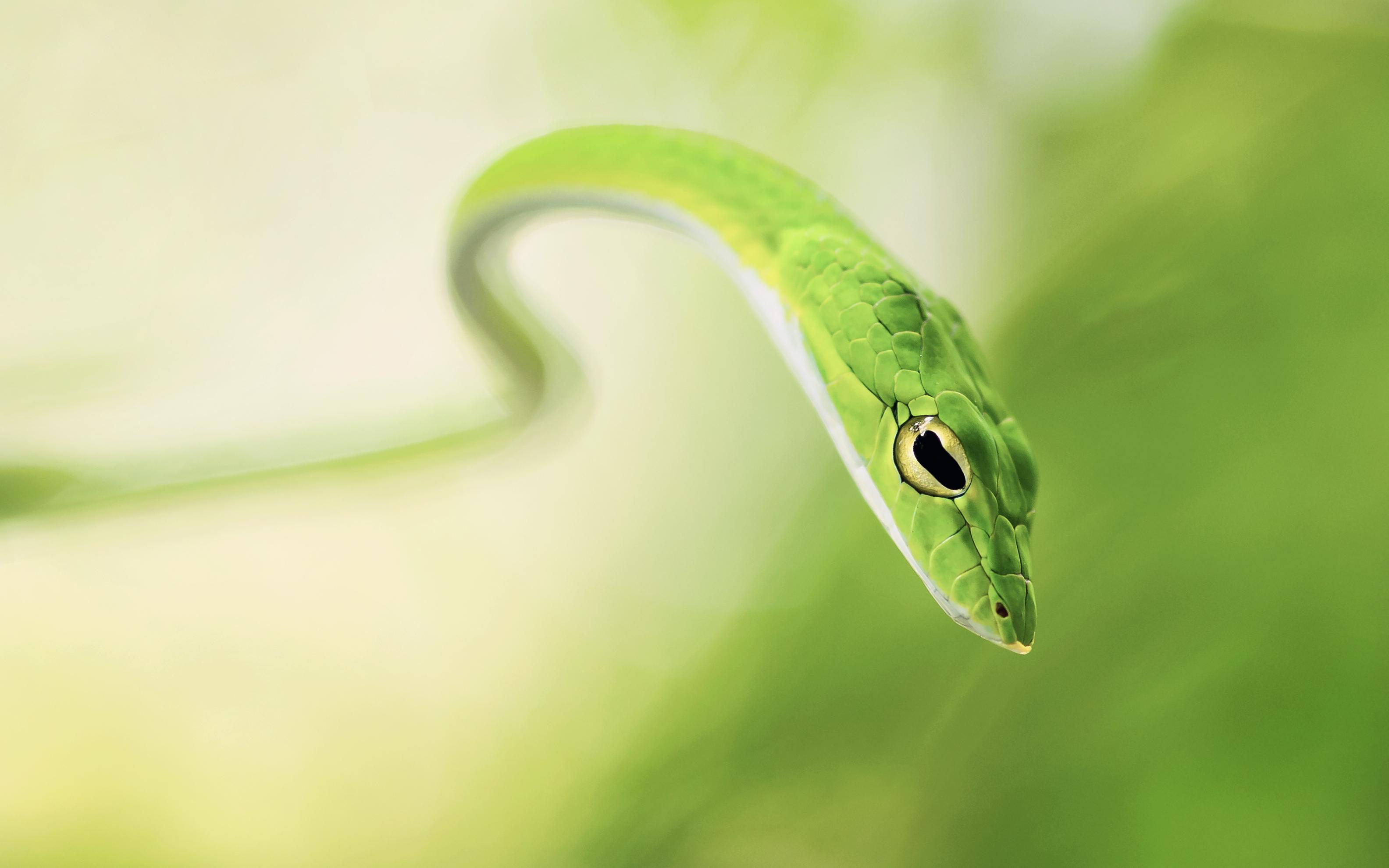 green whipsnake hd