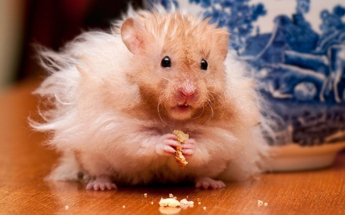 hamster funny wallpaper