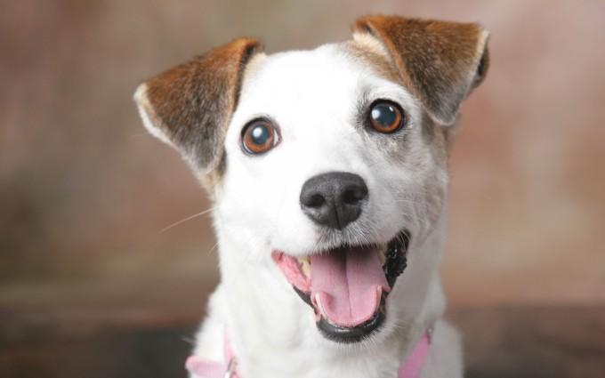 happy dog wallpaper hd