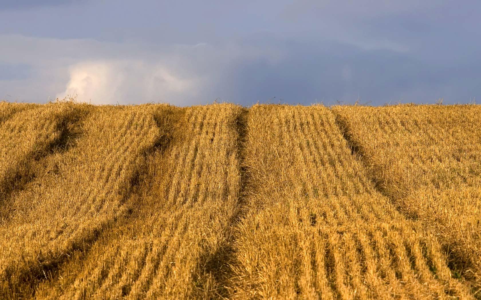 harvest wallpaper nature