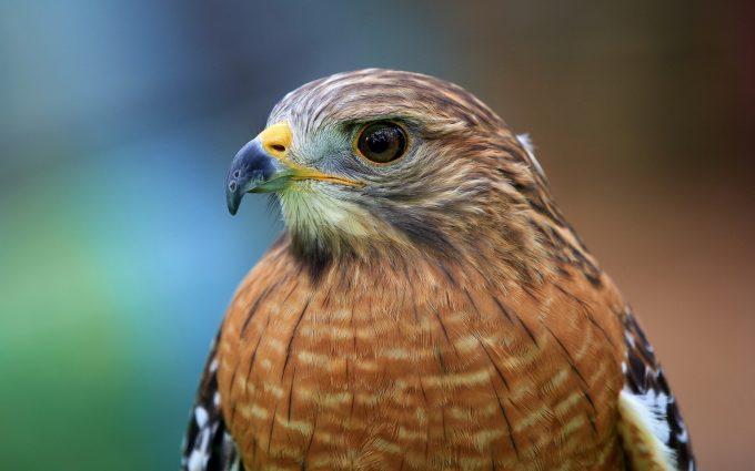 hawk beautiful