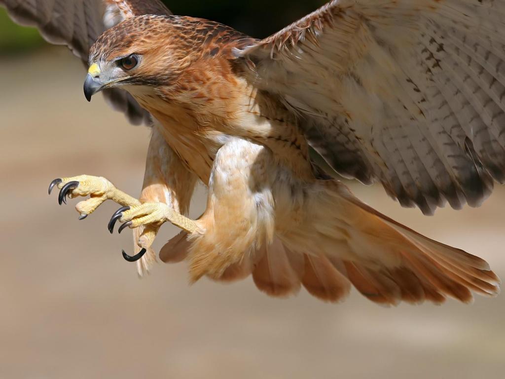 hawk bird breed