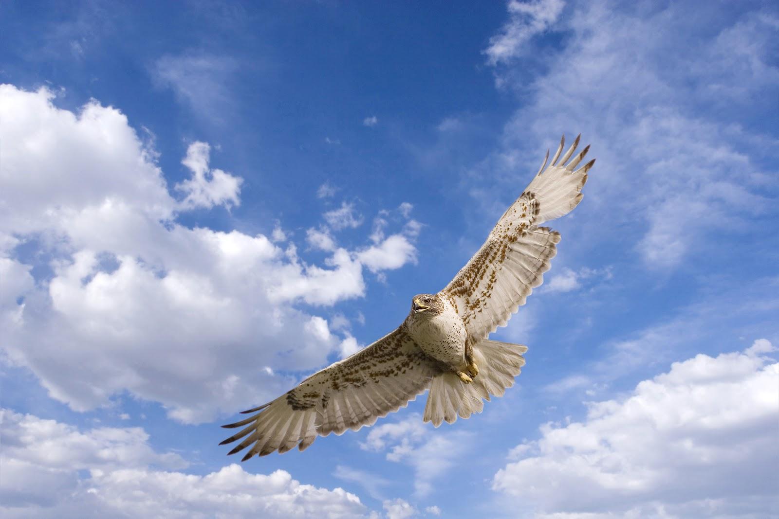 hawk flying 1080p