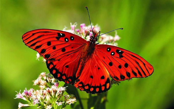 hd butterfly desktop wallpaper