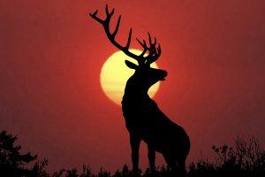 Bull elk sillouette at sunset.