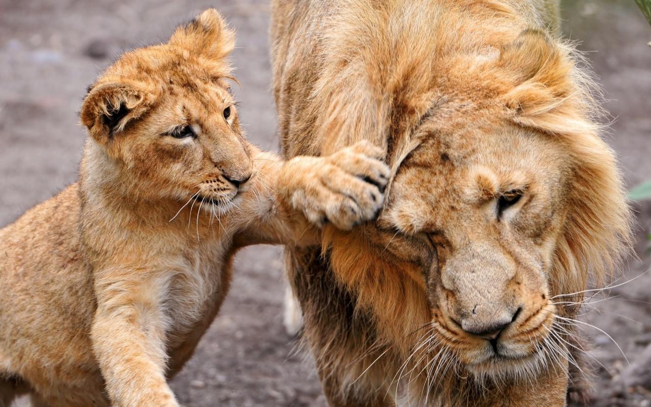hd lion cub wallpaper