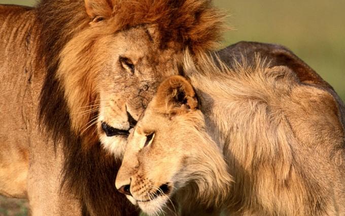hd lion photo