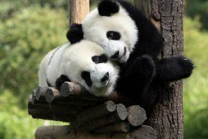 hd panda
