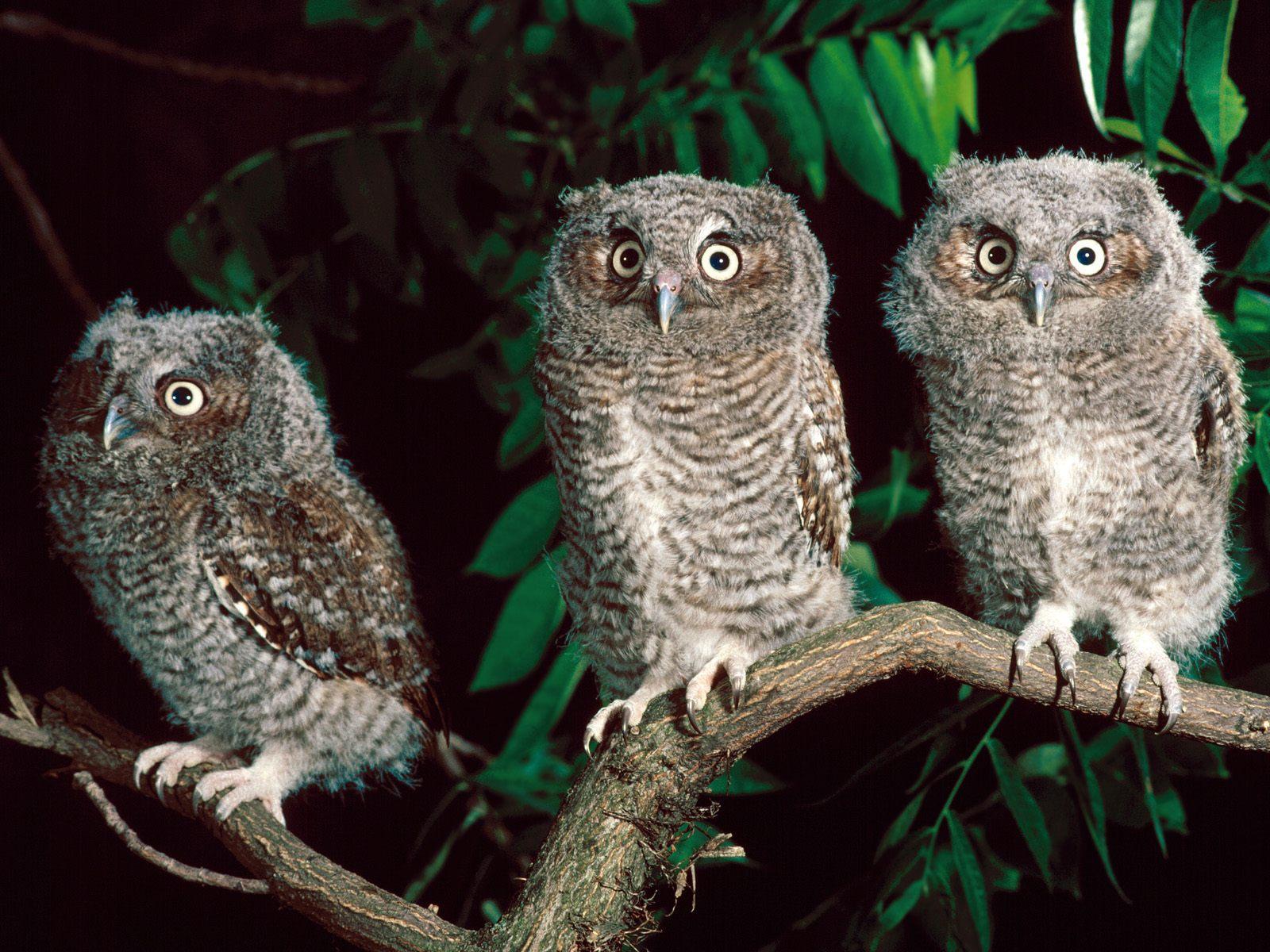 hd wallpaper owl