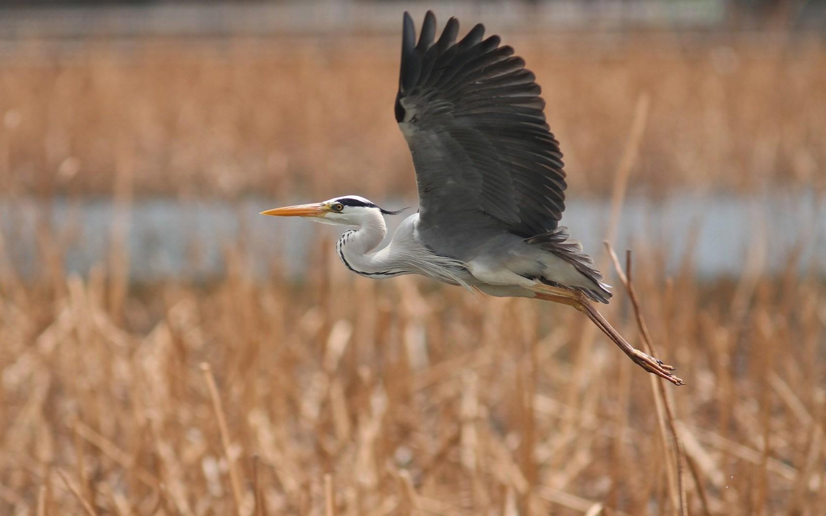 heron wallpaper flying