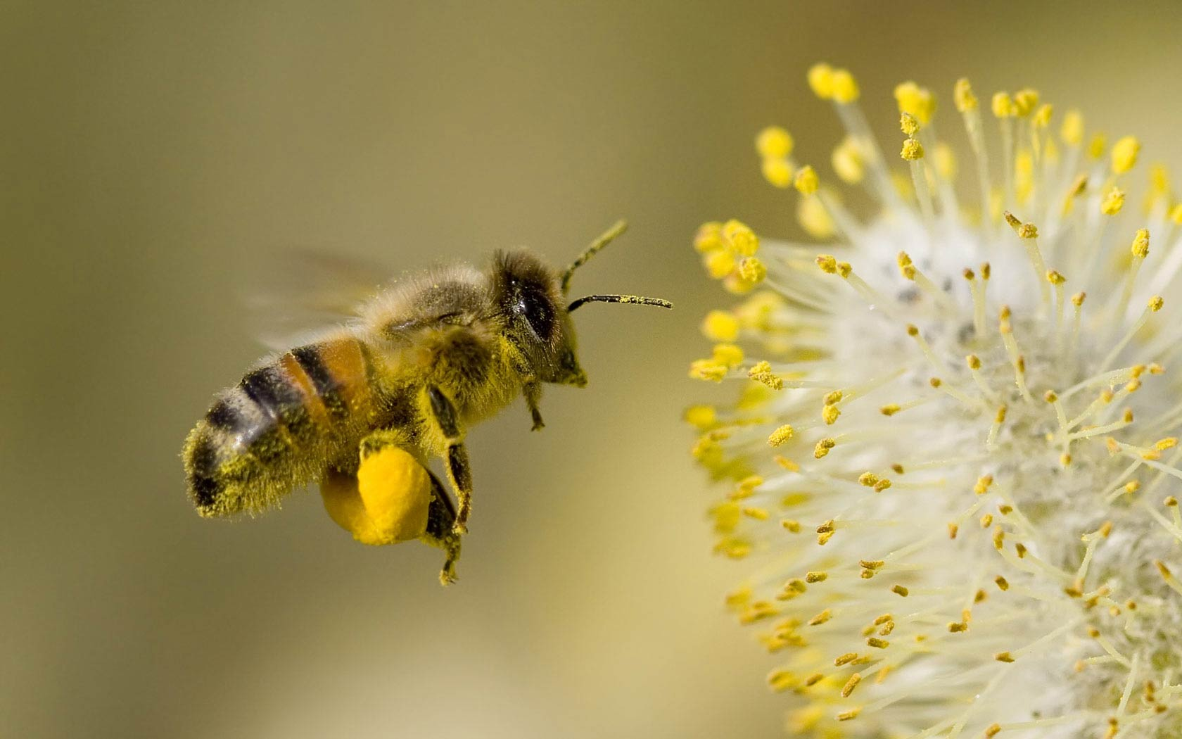 honey bee wallpaper free download