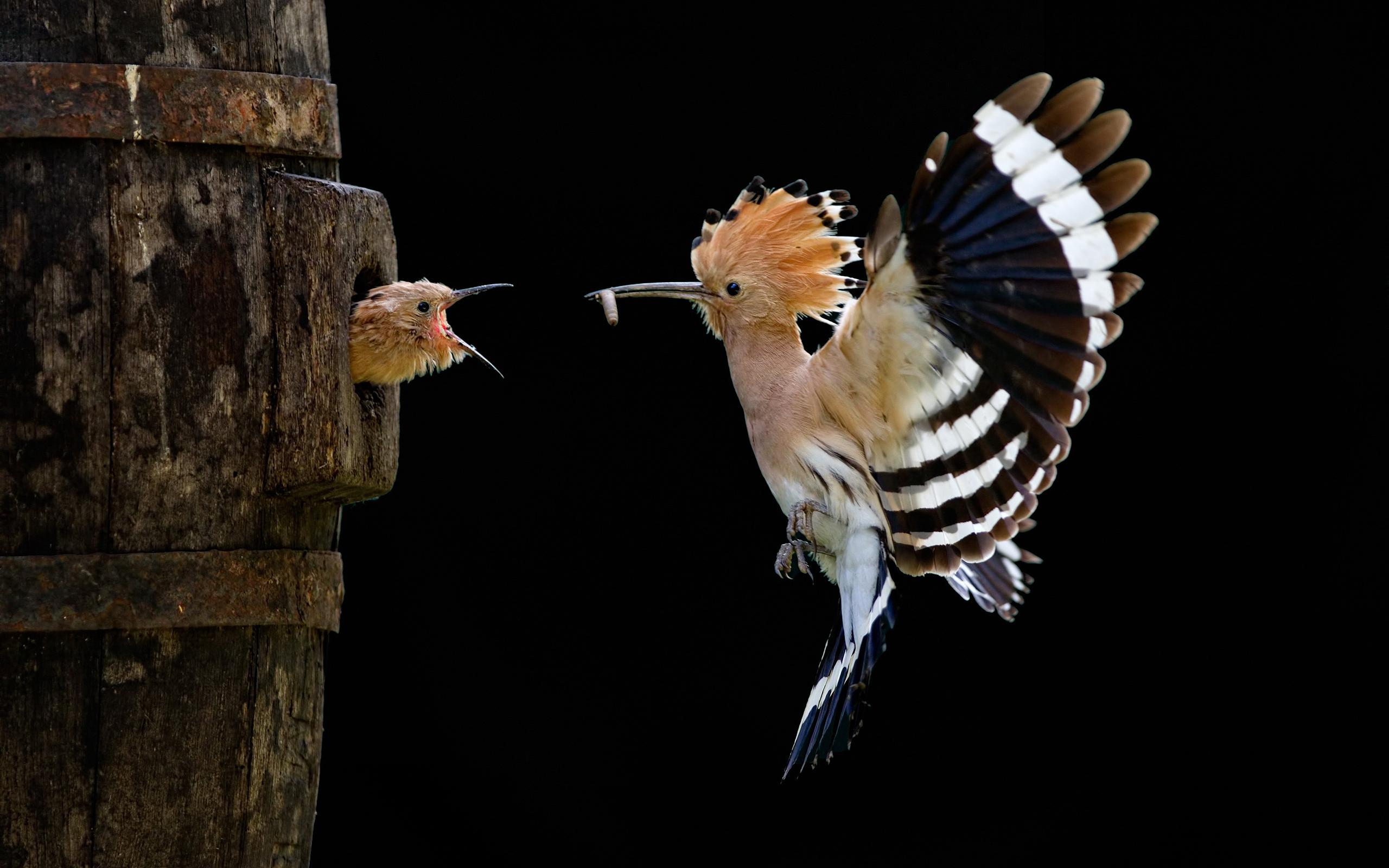 hoopoe nest
