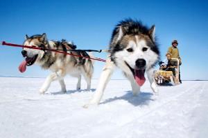 husky dog sleigh
