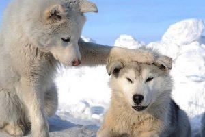 husky wallpaper dog