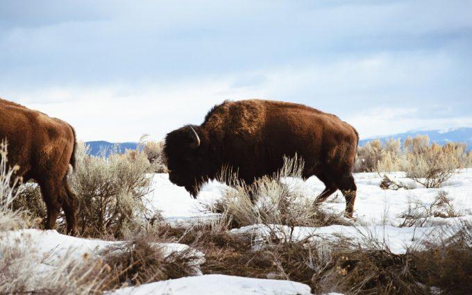 image bison