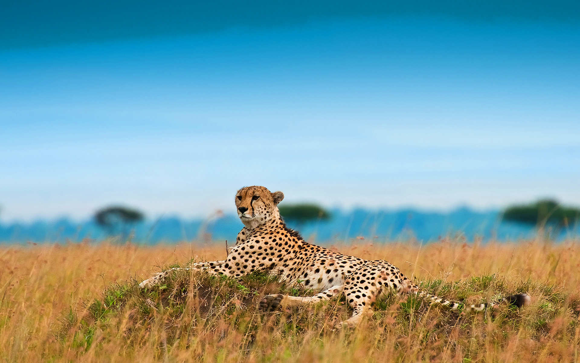 images for cheetahs