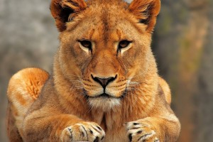 images of a lioness
