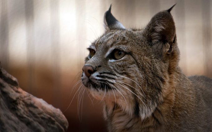 images of lynx