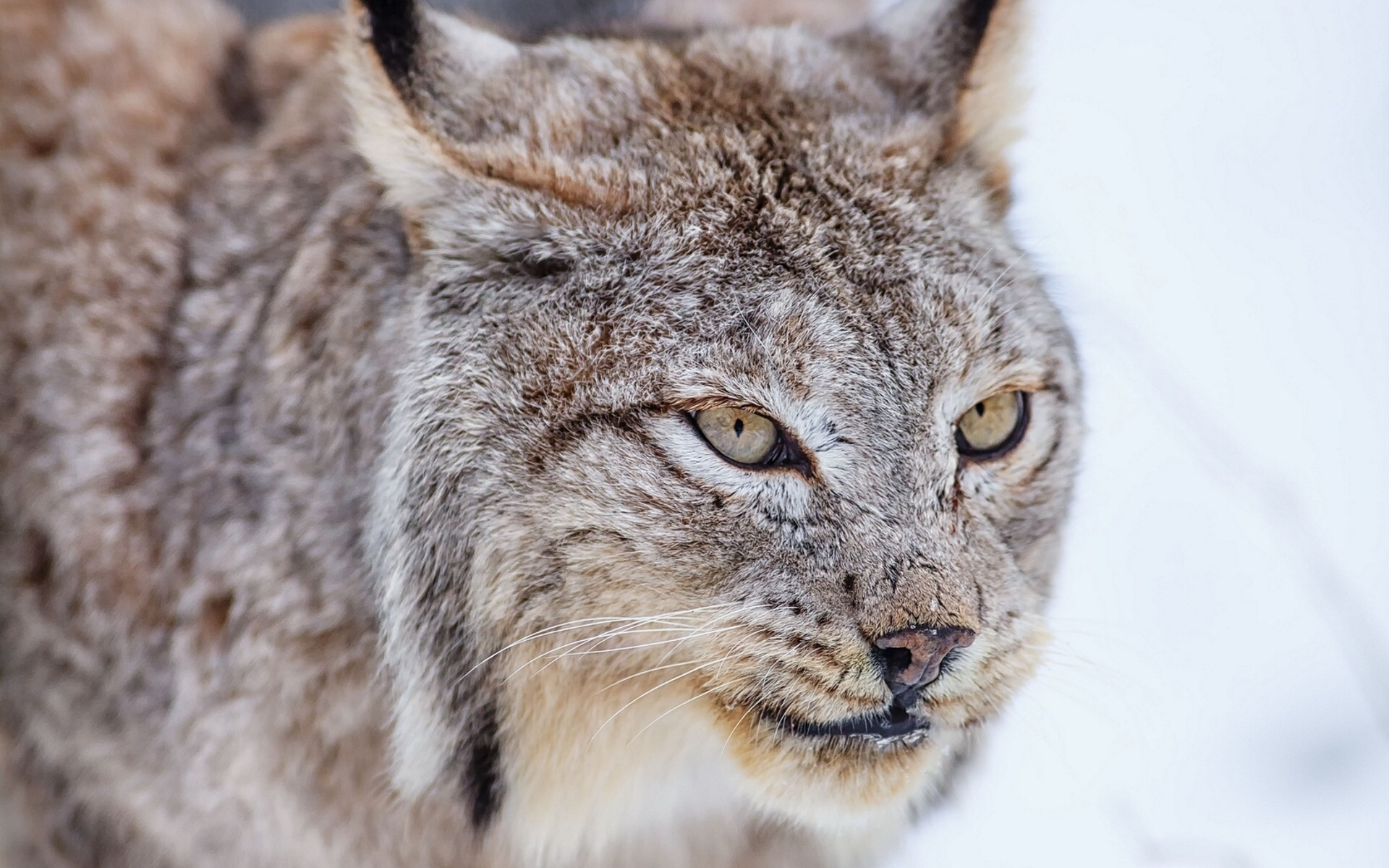images of lynx cats