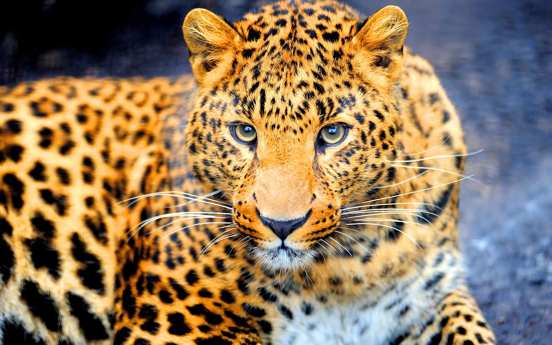 Jaguar wallpapers free download