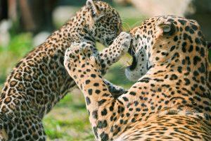 jaguar wallpaper A1