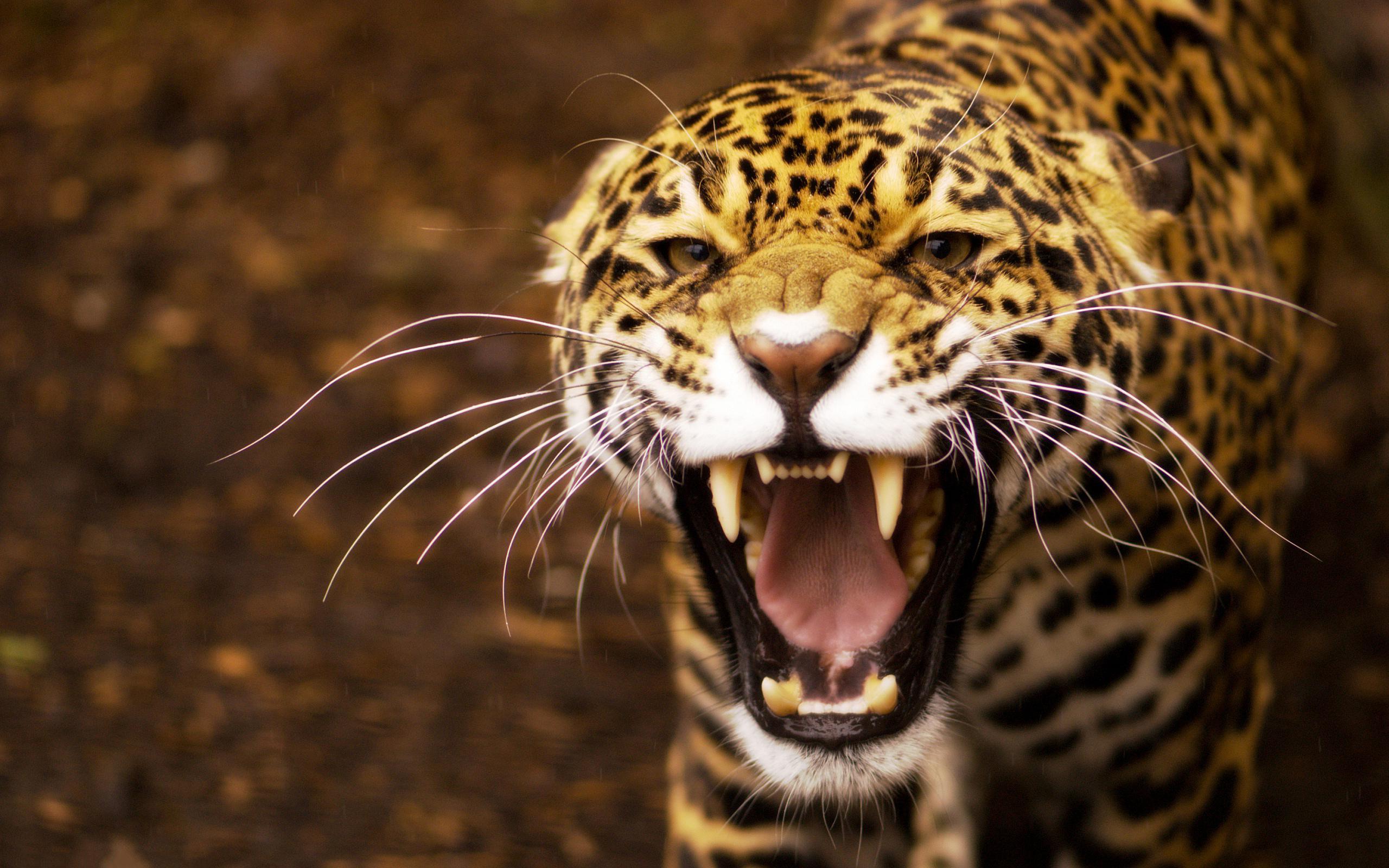 jaguar wallpaper angry